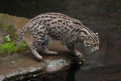 Viverrinus Prionailurus кота рыбной ловли Стоковое Изображение RF