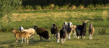 Vivez en troupe aux chèvres et aux moutons Image libre de droits