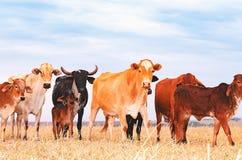 Vivez en troupe avec des vaches et des veaux sur le pâturage d'une ferme Photo stock