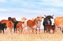 Vivez en troupe avec des vaches et des veaux sur le pâturage d'une ferme Image stock