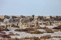 Vivez en troupe Damara Zebra, antiquorum de burchelli d'Equus, Etosha P national Photos stock