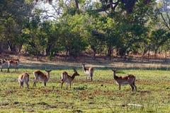 Vivez en troupe le lechwe du sud dans Okavango, Botswana, Afrique photographie stock libre de droits