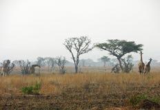 Vivez en troupe les girafes marchant par les plaines desséchées sèches après les feux Afrique de buisson Photo stock