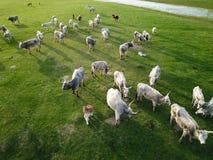 Vivez en troupe les vaches grises hongroises à bétail, une vue de l'air Images libres de droits