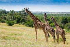 Vivez en troupe si des girafes en parc national de Mara de masai photo stock