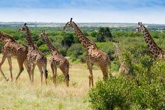 Vivez en troupe si des girafes en parc national de Mara de masai photographie stock