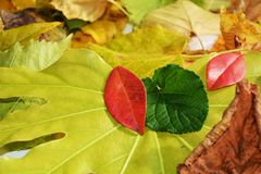 Vivid autumn colorful leaves. Winter natural image, close up Royalty Free Stock Photo