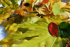 Vivid green autumn colorful leaves. Winter natural image, close up Royalty Free Stock Photography
