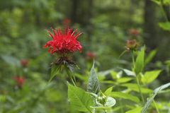Vivid Bee Balm Flowers Royalty Free Stock Image