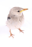 Vivid birdie. Standing with white background stock photography