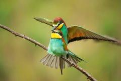 Vivid birds - European bee eaters mating. Merops apiaster Stock Photography