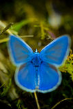 Vivid blue buterrfly. Vivid blue butterfly in nature royalty free stock images