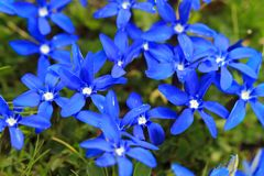 Vivid blue Gentiana verna. The conspicuous vivid blue Gentiana verna, the spring gentian, growing in the alpine meadows in the mountains of the Swiss alps Stock Image