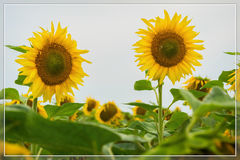 Vivid card of flowering sunflowers close-up. Natural bright background for any theme Stock Image