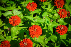 Vivid close up Zinnia flower Stock Image