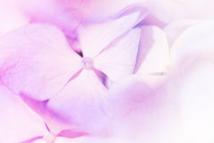 Vivid color pastel color hydrangeas flower in soft and blur styl Stock Photography