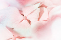 Vivid color pastel color hydrangeas flower in soft and blur styl Royalty Free Stock Photography