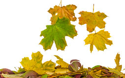 Vivid colored autumn leaves (leafs) falling, isolated, white background Stock Photo