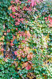 Vivid colored ivy plant, hedera, climbing plant, autumn time texture Royalty Free Stock Photos