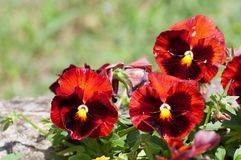 Vivid colored pansies in a park Stock Photography