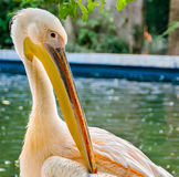 Vivid colored pelecanus bird, zoo garden Royalty Free Stock Image
