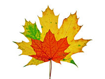 Vivid colorful autumn maple leaves. Isolated on white background Royalty Free Stock Photos