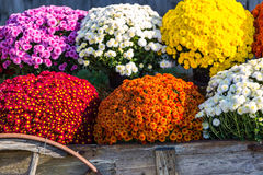 Vivid and Colorful Farm Mums Royalty Free Stock Photography