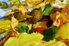 Vivid colorful leaves. Winter natural image, close up Stock Photo