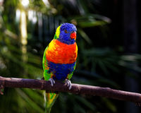 Vivid colorful tropical parrot perched on a stick Stock Image
