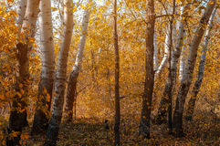 Vivid colors of autumn birch forest Royalty Free Stock Photos