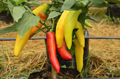 Vivid colors of chilies Stock Image