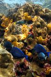 Vivid colors of coral reef under the sea Royalty Free Stock Image