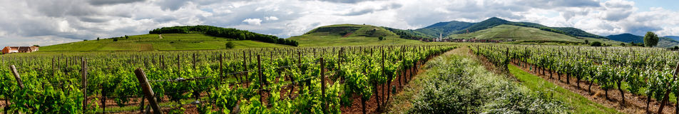 Vivid colors of vineyards. On sunset, France,  Alsace Royalty Free Stock Images