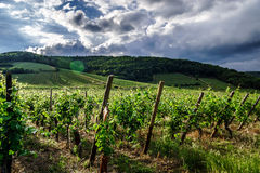 Vivid colors of vineyards Stock Photos