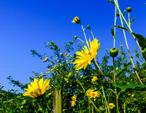 Vivid colors of yellow summer flowers on blue sky background Royalty Free Stock Image