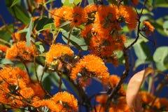 Vivid colours,Australian plant Royalty Free Stock Image