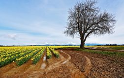 Vivid Daffodil Landscape with Mountains and Barren Tree. Brightly colored daffodils form rows in muddy, wet field with large barren magnolia tree off to side and royalty free stock photo