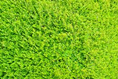 Vivid detail background of green hedge Royalty Free Stock Photos