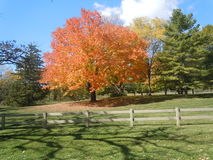 Vivid Fall Foliage. Vivid orange Maple tree in the fall  with Evergreens around it and a wooden fence in front Stock Photo