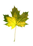 Vivid fall leaf Stock Photo
