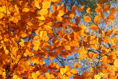 Vivid fall trees. Top of vivid fall trees, focus set at the right side Royalty Free Stock Photography