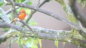 A vivid Flame-coloured Tanager stock video footage