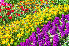Vivid floral carpet in Holland Keukenhof park Royalty Free Stock Image
