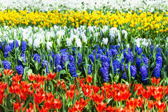 Vivid floral carpet in Keukenhof park in Holland Royalty Free Stock Image