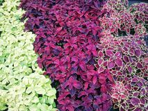 Vivid flower bed. A colorful flower bed consisting of three different variations of the same flower genre royalty free stock photography