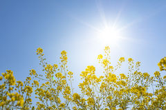 Vivid fresh yellow canola flower with sun shine daylight flare a. Nd blue sky in summer vacation Switzerland Stock Photography