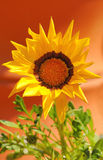 Vivid gerbera flower Stock Image
