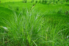 Vivid green grass and rice field. Royalty Free Stock Images