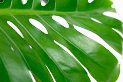 Vivid Green Leaf. Detail on white background Stock Images