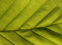 Green veiny Leaf royalty free stock photography